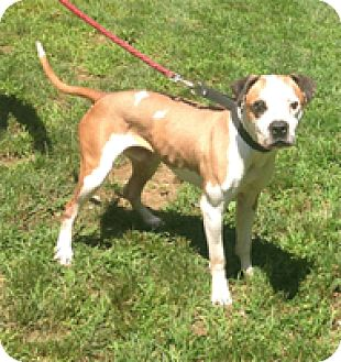 Boxer Mix Dog for adoption in Spring City, Tennessee - Kadir