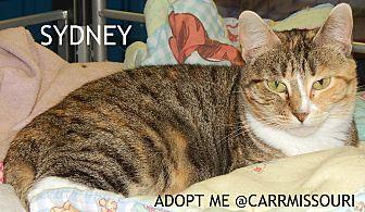 British Shorthair Cat for adoption in Holden, Missouri - Sydney