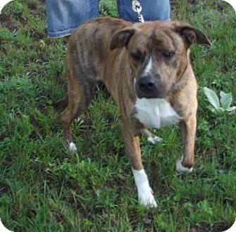Pit Bull Terrier Mix Dog for adoption in Cheboygan, Michigan - Tank