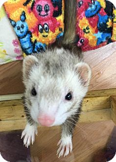 Ferret for adoption in Fawn Grove, Pennsylvania - Marla