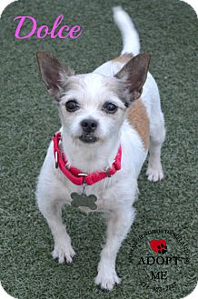 Chihuahua/Jack Russell Terrier Mix Dog for adoption in Youngwood, Pennsylvania - Dolce