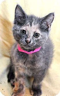 Domestic Shorthair Kitten for adoption in Fort Leavenworth, Kansas - Apple Jack