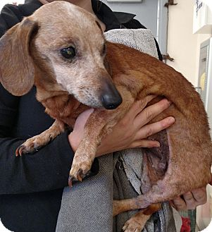 Dachshund Mix Dog for adoption in Franklin, Georgia - 56316 Time Up
