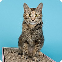 Domestic Shorthair Cat for adoption in Wilmington, Delaware - Abby