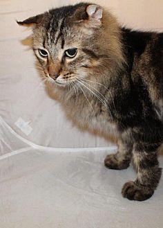 Maine Coon Cat for adoption in Atlanta, Georgia - Paul