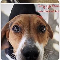 Adopt A Pet :: Ivry - Chicopee, MA