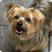 Yorkie, Yorkshire Terrier Dog for adoption in Hagerstown, Maryland - Lila