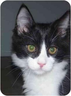 Domestic Shorthair Kitten for adoption in San Ramon, California - Bagel