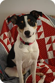 Feist/Terrier (Unknown Type, Medium) Mix Dog for adoption in Knoxville, Tennessee - Sophie Lee