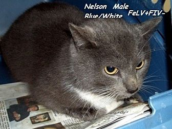 Domestic Mediumhair Cat for adoption in Hazard, Kentucky - Nelson