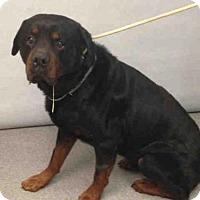 Rottweiler Mix Dog for adoption in Whitestone, New York - Attila (Acc)