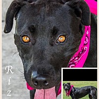 Adopt A Pet :: Riz - Austin, TX