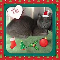 Russian Blue Cat for adoption in Harrisburg, North Carolina - Tic
