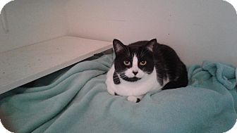Domestic Shorthair Cat for adoption in THORNHILL, Ontario - SUNDAE