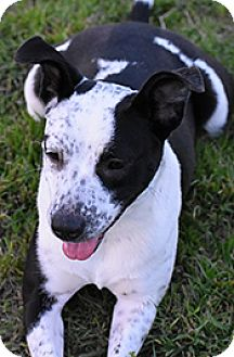 Terrier (Unknown Type, Medium)/Australian Cattle Dog Mix Dog for adoption in Jarrell, Texas - Marble