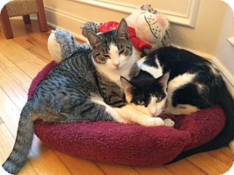 Domestic Shorthair Cat for adoption in Trenton, New Jersey - Luciano (and Jose)