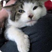 Adopt A Pet :: Super Duper Cooper: Adorable Kitten - Brooklyn, NY