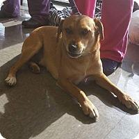 Labrador Retriever/Terrier (Unknown Type, Medium) Mix Dog for adoption in Huntington, Indiana - Zoro