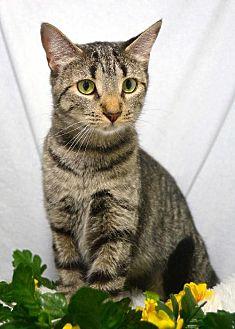 Domestic Mediumhair Cat for adoption in St. Cloud, Florida - Pandora