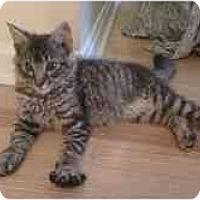 Adopt A Pet :: Saki - Arlington, VA