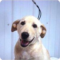 Adopt A Pet :: Cotton - Irvington, KY