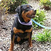 Adopt A Pet :: Thor - Rigaud, QC