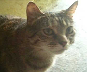 Domestic Shorthair Cat for adoption in Memphis, Tennessee - Baby