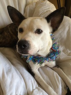 Cattle Dog Mix Dog for adoption in Overland Park, Kansas - LuLu