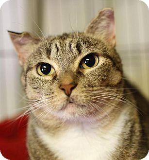 Domestic Shorthair Cat for adoption in Winston-Salem, North Carolina - Kendal