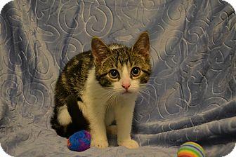 Domestic Shorthair Kitten for adoption in Oyster Bay, New York - Steven
