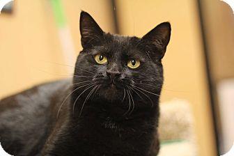 Domestic Shorthair Cat for adoption in Richmond, Virginia - Gypsy