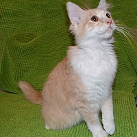 Adopt A Pet :: SEBASTIAN - LAID BACK LOVER - Plano, TX