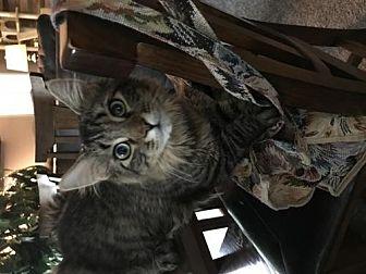 Domestic Mediumhair Cat for adoption in Rochester, Michigan - Roper