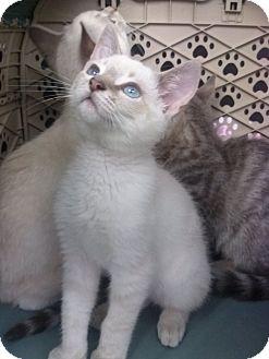 Siamese Kitten for adoption in Lantana, Florida - Mistletoe