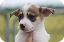 Chihuahua/Jack Russell Terrier Mix Puppy for adoption in Russellville, Kentucky - Cody