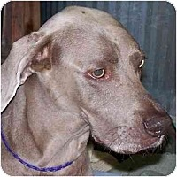 Adopt A Pet :: Bella  **ADOPTED** - Eustis, FL