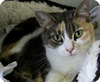 Calico Cat for adoption in Martinsville, Indiana - Koko