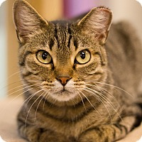Domestic Shorthair Cat for adoption in Grayslake, Illinois - Pigeon