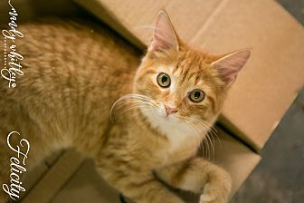 Domestic Mediumhair Kitten for adoption in Columbia, Tennessee - Felicity