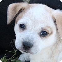 Adopt A Pet :: Skylark - Austin, TX