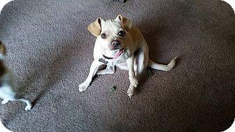 Beagle/Pug Mix Dog for adoption in Speedway, Indiana - Jenny (Bonded to Bubby)