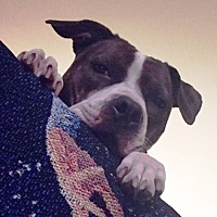 Adopt A Pet :: Maggie- Courtesy Listing - Fredericksburg, VA