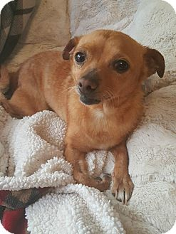 Chihuahua Mix Dog for adoption in Los Angeles, California - REMI