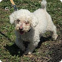 Adopt A Pet :: Joey **In a foster home** - Breinigsville, PA
