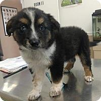 Adopt A Pet :: Dex - Frederick, MD