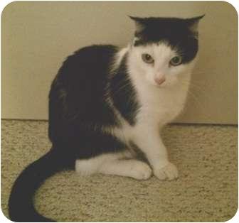 Scottish Fold Cat for adoption in Riverside, California - Freida