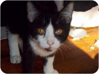 Domestic Shorthair Kitten for adoption in feasterville, Pennsylvania - Oreo