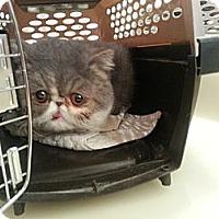 Adopt A Pet :: Gossip - Beverly Hills, CA