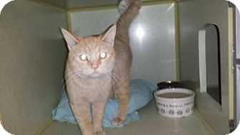 Domestic Shorthair Cat for adoption in Iroquois, Illinois - The Great Pumpkin