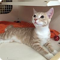 Adopt A Pet :: Shortbread - Stafford, VA